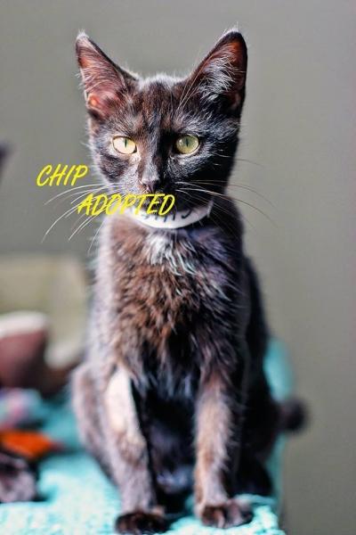 Chip - Adopted - September 4, 2017