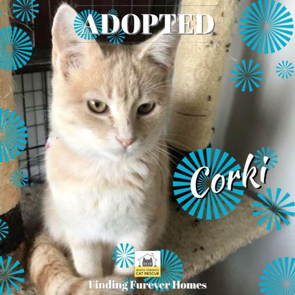 Corki-Adopted-on-November-10-2019