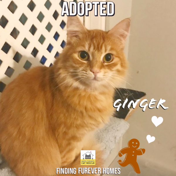 Ginger-Adopted-on-December-29-2019-with-KoKo