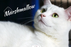 Marshmallow-Adopted-on-October-26-2019